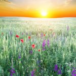 sunset over grassy hill and wildflowers