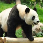 Panda bear on bamboo