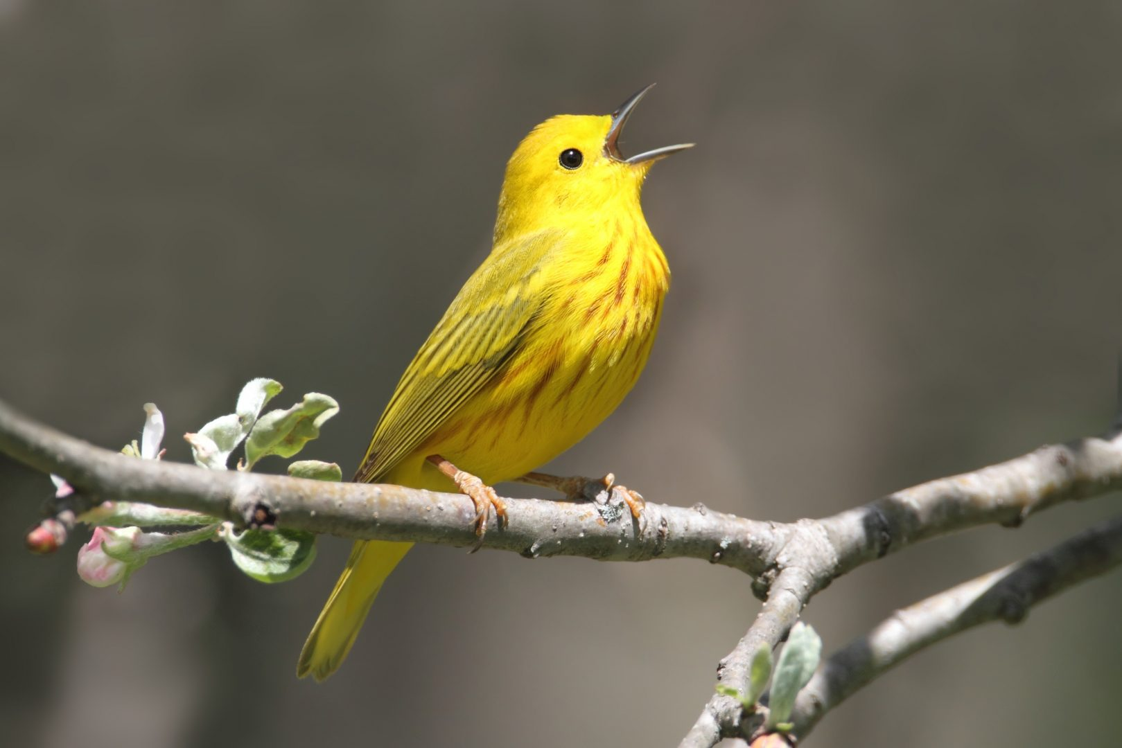 singing yellow warbler on branch