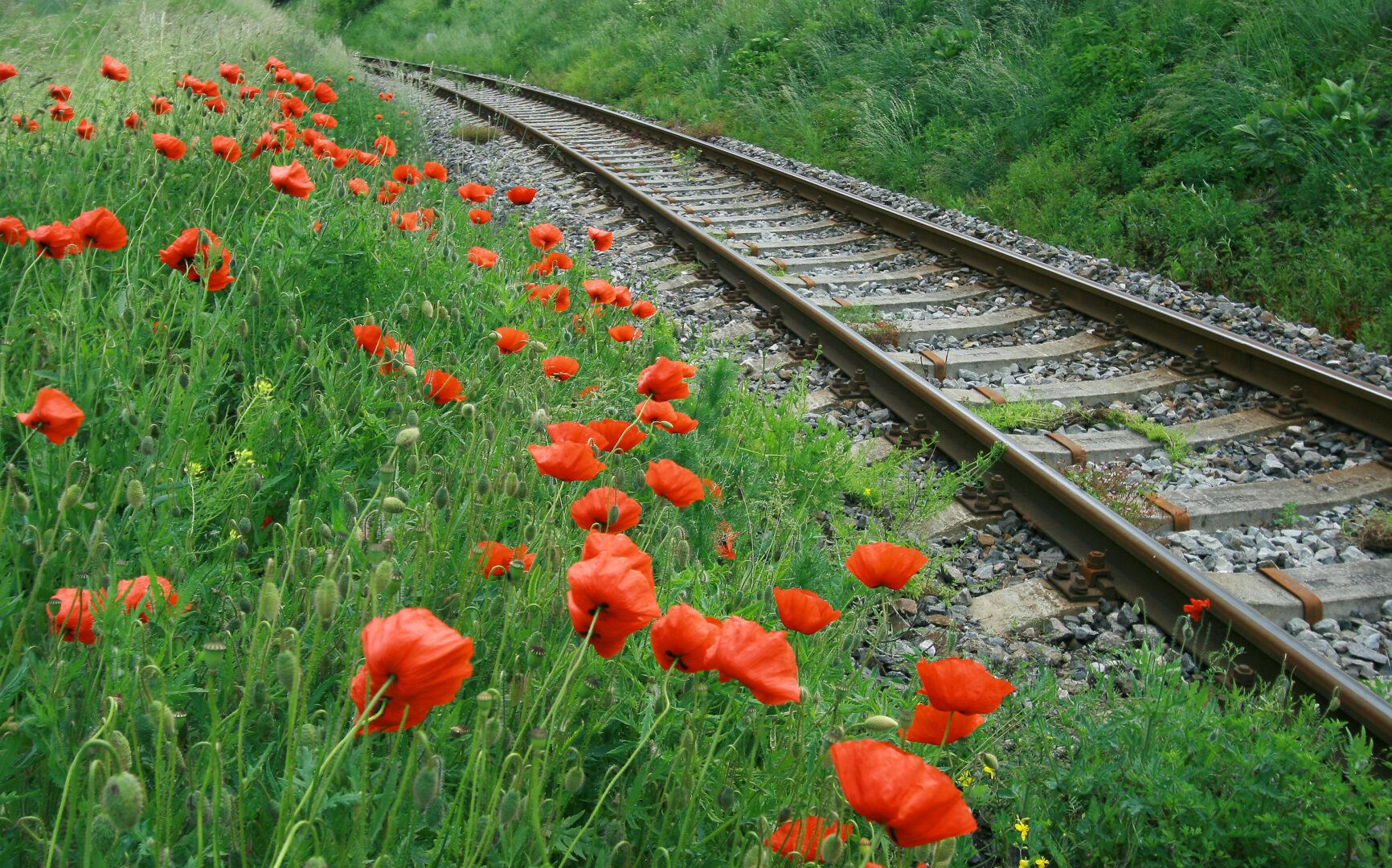 field of red poppy near railroad tracks