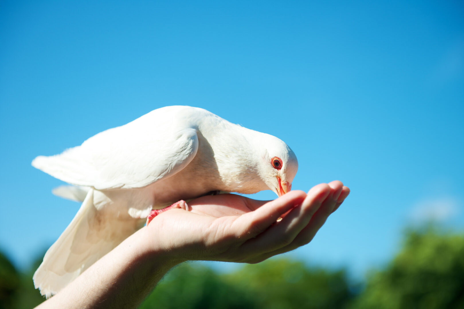 white dove bird on a human hand eating